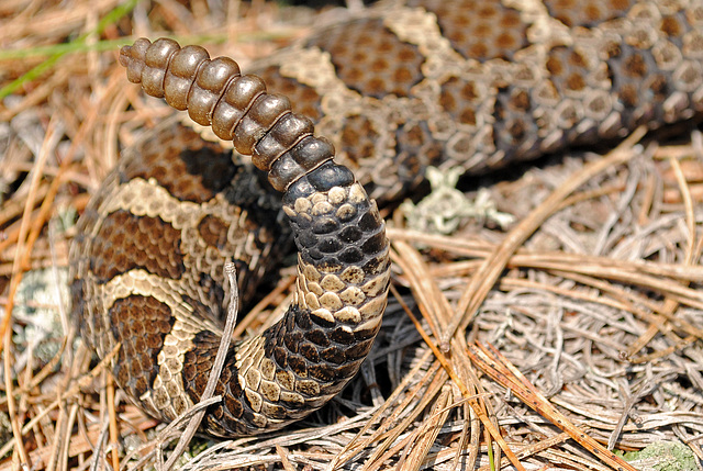 il coupe la queue d un serpent sonnette pour d couvrir