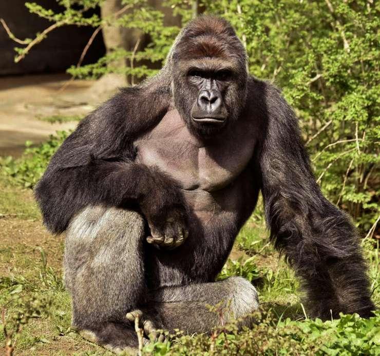 Harambe, le gorille abattu dans le zoo de Cincinnati Source de l'image : news.nationalgeographic.com